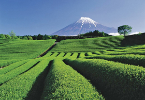Tea Plantation and Mt. Fuji